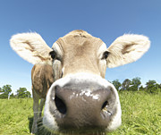 Attitude Photos - Cow In Field, Close-up by Jlph