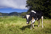 Sete Photos - Cow in the Lagoa das Sete Cidades by Andre Goncalves