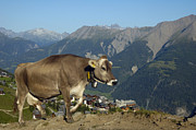Alp Photos - Cow in the mountains by Matthias Hauser