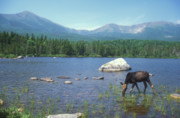 Mount Katahdin Prints - Cow Moose and Mount Katahdin Print by John Burk