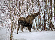 Alaska Wildlife Photos - Cow Moose Winter Feeding by Thomas Payer