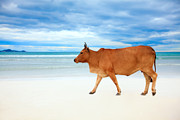 Breeding Posters - Cow on the beach Poster by MotHaiBaPhoto Prints
