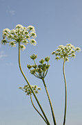 Plants Posters - COW PARSLEY blue sky summers day english hedgerow Poster by Andy Smy