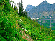 Montana Digital Art - Cow Parsnip along Highline Trail in Glacier NP by Ruth Hager