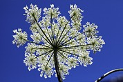 Umbel Prints - Cow Parsnip (heracleum Maximum) In Flower Print by Dirk Wiersma