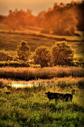 Sunsets Prints - Cow Peace Print by Emily Stauring