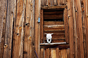 Ghost Town Photos - Cow skull in wooden window by Garry Gay