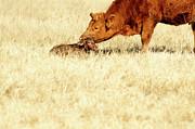 Cow Smelling Newborn Calf Print by ©Debbie Prediger Photography