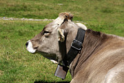 Cow Photos - Cow with bell by Cristina Lichti