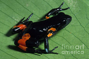 Critically Endangered Animals Prints - Cowans Mantella Print by Dante Fenolio
