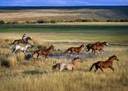 Carefree Cowboy Prints - Cowboy Riding With Herd Of Horses Print by Richard Wear