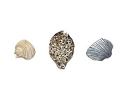 Sea Shells Painting Posters - Cowrie and Shells Poster by Amanda Makepeace