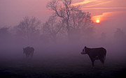 Milking Art - Cows At Sunrise by Meirion Matthias