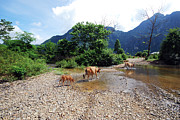 Calf Photo Posters - Cows Crossing River In Vietnam Poster by Thepurpledoor