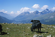 Saint Moritz Prints - Cows Graze In A Field High Print by Taylor S. Kennedy