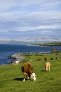 The Burren Prints - Cows Grazing On The Burren Coast Near Ballyvaghan Print by Design Pics / Peter Zoeller