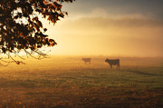 Red Leaf Prints - Cows in a foggy field Print by Mats Silvan