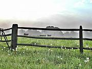 Wooden Fence Prints - Cows in Field Print by Bill Cannon