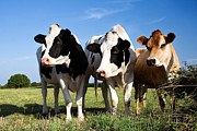 Livestock Photos - Cows by Jane Rix