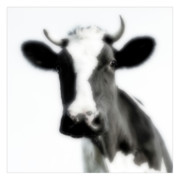 Landscape Posters Digital Art Framed Prints - Cows landscape photograph I Framed Print by Marco Hietberg