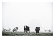 Farm Animals Digital Art Posters - Cows landscape photograph V Poster by Marco Hietberg