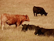 Black Angus Metal Prints - Cows Metal Print by Methune Hively