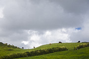 Fanore Photo Framed Prints - Cows on the top of a hill in Ireland Framed Print by Kathleen Smith
