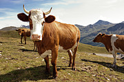 Salzkammergut Framed Prints - Cows,mount Grossglockner High Alpine Road Framed Print by Buero Monaco