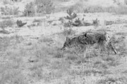 Wildlife And Nature Photos Originals - Coyote blending in by Christine Till