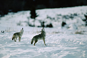 Canidae Photos - Coyote Canis Latrans Pair Howling by Michael Quinton