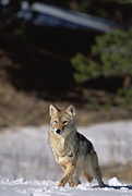 Canis Sp. Framed Prints - Coyote Canis Latrans Portrait Framed Print by Konrad Wothe