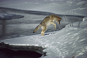 Canidae Photos - Coyote Canis Latrans Pouncing On Small by Michael Quinton