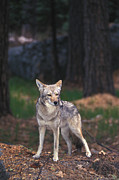 Shyness Prints - Coyote Canis Latrans. Yosemite National Print by Nick Norman