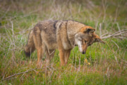 Fall Grass Prints - Coyote Print by Carl Jackson