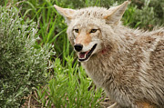 Mouth Open Prints - Coyote Hunting Print by Bjbowne