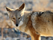 Coyote Prints - Coyote in Death valley National park Print by Pierre Leclerc