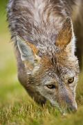 Concentration Prints - Coyote In Grass Print by Richard Wear