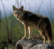 Coyote In Ocotillo Trees Print by Sandra Bronstein