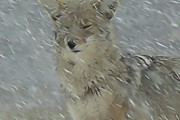 Winter Scene Pastels - Coyote in winter by Errol Savage