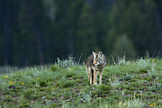 Wolf Photograph Prints - Coyote in Yellowstone Print by Matt Tilghman