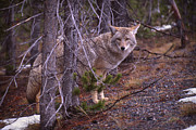 Canid Photos - Coyote in Yellowstone National Park by Janeen Wassink Searles