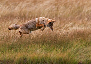 Mid Air Framed Prints - Coyote Leaping - Gibbon Meadows Framed Print by Photo by DCDavis