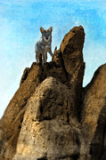 Wild Wolf Prints - Coyote on Rocks Print by Jill Battaglia