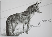 Texas Drawings - Coyote Sunset by Tracy L Teeter