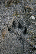 Animal Paw Print Prints - Coyote Print by Susan Herber