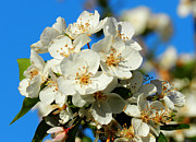 Crab Apple Photos - Crab Apple Blossom Macro 001 by Lance Vaughn