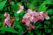 Crab Apple Tree Blossoms Prints - Crab Apple Blossom Print by Thomas R Fletcher