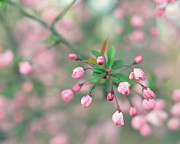 Crab Apple Tree Blossoms Prints - Crab Apple Blossoms Print by Marianne Beukema