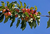 Green Foliage Prints - Crab Apple (malus Sp.) Print by Dr Keith Wheeler