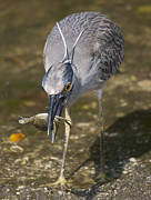 Tricolored Heron Posters - Crab for Lunch Poster by Wade Aiken